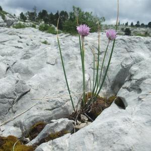 Photographie n°882982 du taxon Allium schoenoprasum