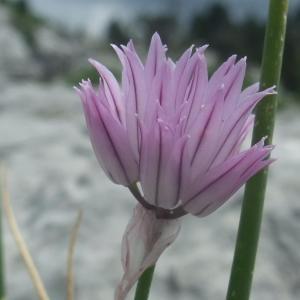 Photographie n°882983 du taxon Allium schoenoprasum
