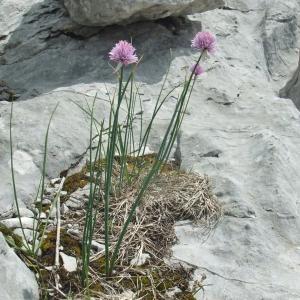 Photographie n°882984 du taxon Allium schoenoprasum