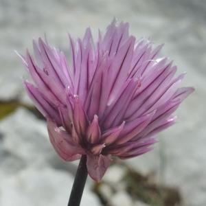 Photographie n°882985 du taxon Allium schoenoprasum
