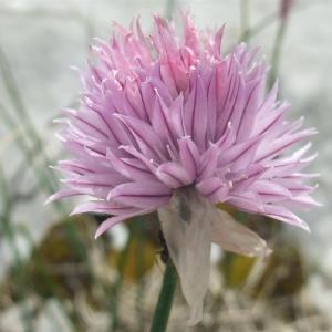 Photographie n°882986 du taxon Allium schoenoprasum