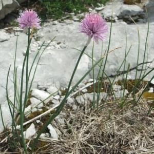 Photographie n°882990 du taxon Allium schoenoprasum