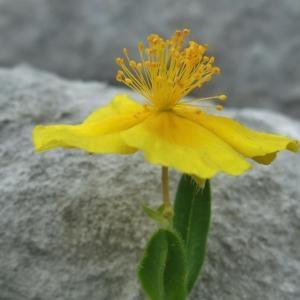 Photographie n°883032 du taxon Helianthemum nummularium subsp. grandiflorum