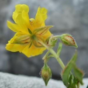 Photographie n°883033 du taxon Helianthemum nummularium subsp. grandiflorum