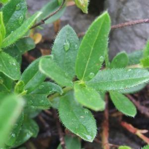 Photographie n°883034 du taxon Helianthemum nummularium subsp. grandiflorum