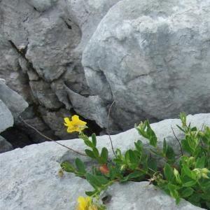 Photographie n°883039 du taxon Helianthemum nummularium subsp. grandiflorum