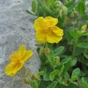 Photographie n°883040 du taxon Helianthemum nummularium subsp. grandiflorum