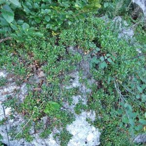 Photographie n°883368 du taxon Arctostaphylos uva-ursi sensu auct. plur.
