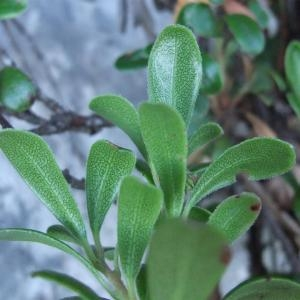 Photographie n°883372 du taxon Arctostaphylos uva-ursi sensu auct. plur.