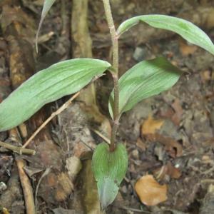 Photographie n°883400 du taxon Epipactis purpurata Sm. [1828]