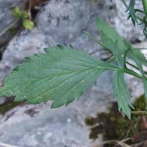 Photographie n°883477 du taxon Scabiosa columbaria L. [1753]