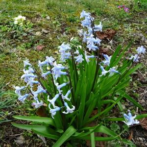 Hyacinthus orientalis L. (Jacinthe d'Orient)