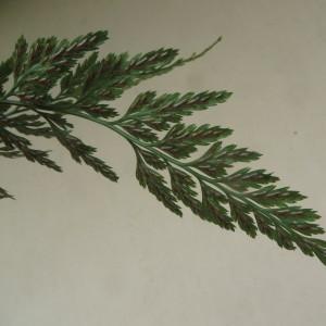 Asplenium adiantum-nigrum var. lamotteanum (Hérib.) Rouy (Asplénium noir)