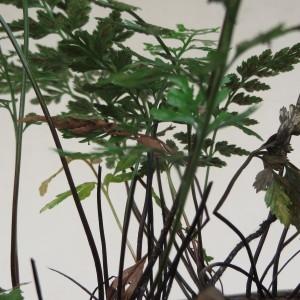 Photographie n°884821 du taxon Asplenium adiantum-nigrum L.