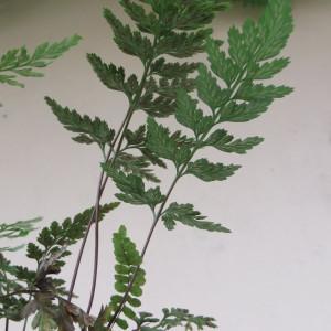 Photographie n°884822 du taxon Asplenium adiantum-nigrum L.