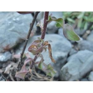 Erigeron acris L. subsp. acris (Vergerette âcre)