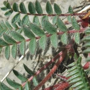 Photographie n°887439 du taxon Oxytropis jacquinii Bunge [1847]