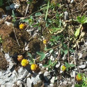 Photographie n°887490 du taxon Trifolium badium Puccin.