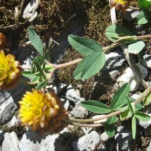 Photographie n°887491 du taxon Trifolium badium Puccin.