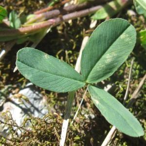 Photographie n°887500 du taxon Trifolium badium Puccin.