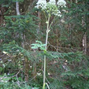Photographie n°893581 du taxon Angelica sylvestris L. [1753]