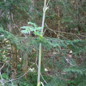 Photographie n°893582 du taxon Angelica sylvestris L. [1753]