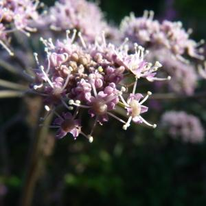 Photographie n°894623 du taxon Angelica sylvestris L. [1753]