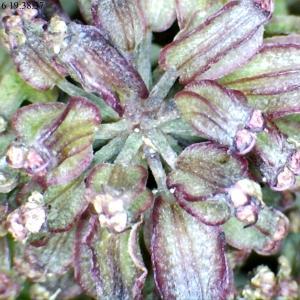 Photographie n°894628 du taxon Angelica sylvestris L. [1753]