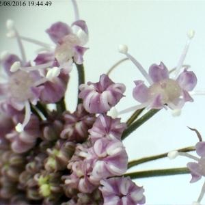 Photographie n°894630 du taxon Angelica sylvestris L. [1753]