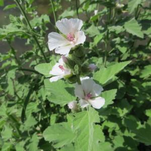Photographie n°895193 du taxon Althaea officinalis L. [1753]