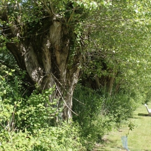 Photographie n°895386 du taxon Populus nigra L.