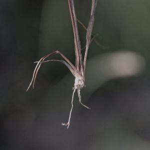 Photographie n°898518 du taxon Juncus tenageia Ehrh. ex L.f.
