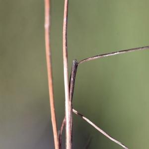 Photographie n°898527 du taxon Juncus tenageia Ehrh. ex L.f.