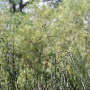 Photographie n°898610 du taxon Schoenoplectus lacustris (L.) Palla [1888]