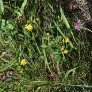 Photographie n°899495 du taxon Senecio aquaticus Hill [1761]