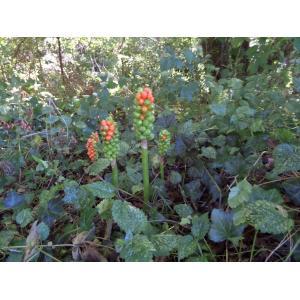 Arum italicum Mill. var. italicum (Arum d'Italie)