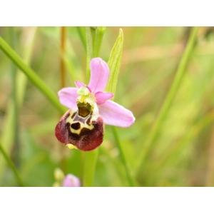 Ophrys fuciflora subsp. elatior (Gumpr. ex Paulus) Engel & Quentin (Ophrys élevé)