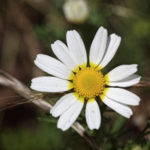 Photographie n°900473 du taxon Cladanthus mixtus (L.) Chevall.
