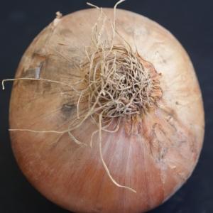 Photographie n°901288 du taxon Allium cepa L. [1753]