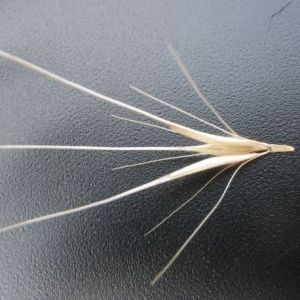 Photographie n°905153 du taxon Hordeum murinum subsp. leporinum (Link) Arcang. [1882]