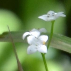 Photographie n°905988 du taxon Galium palustre L. [1753]