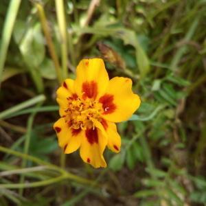 Photographie n°911483 du taxon Tagetes patula L. [1753]