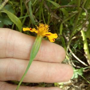 Photographie n°911485 du taxon Tagetes patula L. [1753]