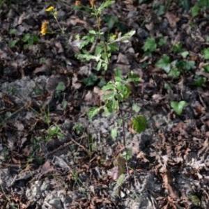 Photographie n°915167 du taxon Senecio aquaticus Hill [1761]