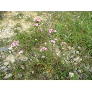 Centaurium erythraea Rafn subsp. erythraea var. erythraea (Érythrée)