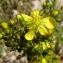 Jean-Claude Calais - Hypericum hyssopifolium Chaix