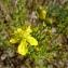 Jean-Claude Calais - Hypericum hyssopifolium Chaix [1785]