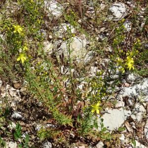 Photographie n°919939 du taxon Hypericum hyssopifolium Chaix [1785]