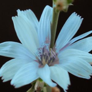 Photographie n°921162 du taxon Cichorium intybus L. [1753]
