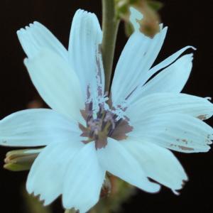 Photographie n°921163 du taxon Cichorium intybus L. [1753]